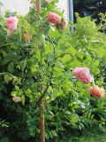 ogród pnącza ogrodowe , kwiaty, róża pnąca