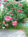 Ogrodnik-amator, opis rośliny, Róża pnąca, Rose, Climbing rose, uprawa róż pnących, opis rózy pnącej, róża czepna kwiat, Ogrodnik - amator, Krzewy łatwe w uprawie, krzewy trudniejsze w uprawie, kalendarz kwitnienia krzewów, galeria krzewów, krzewy pieknie kwitnące, rośliny na lato, rośliny do letniego ogrodu, rośliny kwitnące latem, efektowne krzewy, rośliny pnące, rośliny długo kwitnące, krzewy o pachnących kwiatach