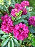 Ogrodnik-amator, opis rośliny, Różanecznik, rododendron, Rhododendron, uprawa różaneczników, uprawa rododendronów, rózaneczniki w ogrodzie, rododendron kwiat