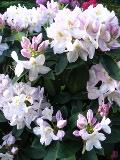 krzewy liściaste, krzew zimozielony, różanecznik, rododendron