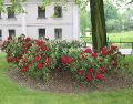 rododendrony, rózaneczniki, dodatki ogrodowe, ozdobne rabaty, kwiaty, krzewy ozdobne, aranżacje ogrodowe, galeria ogrodowa