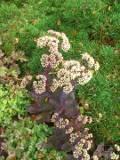 ogród kwiaty ogrodowe , byliny,  kwiaty kwitnące późnym latem i jesienią, rozchodnik okazały