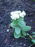 ogr�d kwiaty ogrodowe , byliny,  kwiaty kwitn�ce p�nym latem i jesieni�, rozchodnik okaza�y