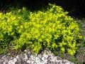 Ogrodnik-amator, opis rośliny, Rozchodnik ostry, Sedum acre, Goldmoss Stonecrop or Biting Stonecrop, uprawa rozchodnika ostrego, kwiaty wieloletnie, byliny, kwiaty na miejsca suche
