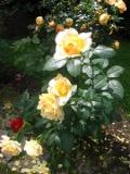 ogrodnik -nawożenie róż, różę w ogrodzie, zasilanie róż