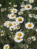 kwiaty, łąka kwietna