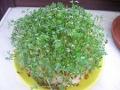 Ogrodnik-amator, opis rośliny, Rzeżucha, pieprzyca siewna,  Lepidium sativum , Garden Cress, Garden pepper cress, uprawa rzeżuchyi, rośliny użytkowe, rośliny zielne, zioła, roślina o aromatycznych liściach, zioło do uprawy w doniczce, jak siać, rzeżucha na wacie, zioła na parapet, zioła przyprawowe, ogród użytkowy