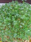 Ogrody, zdjęcia rośliny, przyprawowe, zioła, rzezucha, pieprzyca siewna, ogród użytkowy