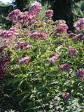 sadziec purpurowy, byliny, duża bylina