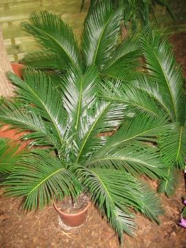 roślina pokojowa, sagowiec, cykas