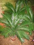 sagowiec, cykas odwiniety   Cycas revoluta , rośliny pokojowe, rośliny doniczkowe, sagowce, palmy
