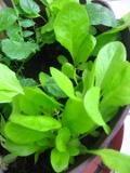 Ogrodnik-amator, opis rośliny, Sałata siewna, Lactuca sativa, Lettuce, uprawa sałaty, rośliny użytkowe, rośliny zielne,  warzywa, roślina o jadalnych liściach, ogród użytkowy