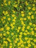 sanwitalia rozesłana, zdjęcia rośliny