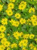 Ogrody, zdjęcia sanwitalii, sanwitalia w ogrodzie