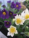 Ogrodnik-amator, opis rośliny, Sasanka, Pulsatilla, Pasque flower, uprawa sasanki, opis rośliny, Kwiaty wieloletnie, byliny, kwiaty ogrodowe