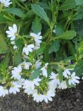 ogród ozdobny , rośliny egzotyczne, rośliny  na balkony i tarasy, scewola, białe kwiaty, niebieskie kwiaty,  różowe kwiaty,  fioletowe kwiaty