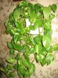 Scindapsus złoty,  Epipremnum pinnatum, pnącza, rosliny pokojowe, rośliny doniczkowe