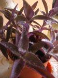 zdjęcia setkrezji purpurowej, setkrezja w domu i w ogrodzie