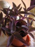 setkrezja purpurowa, Setcreasea purpurea, roślina zielna, paproć, zdjęcia rośliny, rośliny pokojowe