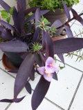 setkrezja purpurowa, ozdobne liście, rośliny na balkony