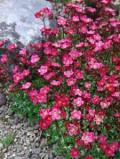 Ogrodnik-amator, opis rośliny, Skalnica Arendsa, Saxifraga arendsii, Saxifrage, uprawa skalnicy Arendsa, kwiaty wieloletnie, byliny