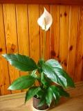 rośliny pokojowe, rosliny doniczkowe, skrzydłokwiat