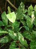 Ogrodnik-amator, opis rośliny, Skrzydłokwiat, Spathiphyllum, Peace Lily, uprawa skrzydłokwiatu,  rośliny do domu, rośliny doniczkowe, rośliny pokojowe, rośliny długo kwitnące, rośliny o efektownych kwiatach, rosliny na wiosnę, rośliny kwitnące latem, rośliny na lato, rośliny długo kwitnące, rośliny łatwe w uprawie, kwiaty cięte
