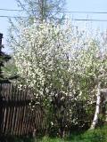 ogród, ogrodnik, drzewa owocowe wiosną