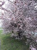 drzewa liściaste śliwa wiśniowa