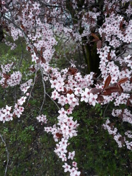 śliwa wiśniowa, fotografie roślin