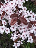 Ogrodnik-amator, opis rośliny, Śliwa wiśniowa, Prunus cerasifera, Cherry plumu, uprawa śliwy wiśniowej, pielęgnacja, drzewa owocowe, drzewa o czerwonych lisciach, drzewa ozdobne, drzewa do małego ogrodu, ogród owocowy, drzewa i krzewy owocowe, rośliny użytkowe, rośliny owocujące, rośliny wytrzymałe, drzewa na różne gleby, drzewa lisciaste