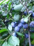 ogród użytkowy, sadzenie drzew owocowych