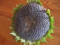 ogród użytkowy, nasiona, kwiaty, słonecznik zwyczajny