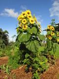 Ogrodnik-amator, opis rośliny, Słonecznik zwyczajny, Helianthus annuus, Sunflower, uprawa słoneczników, opis rośliny, kwiaty jednoroczny siane wprost do gruntu, kwiaty w ciepłych kolorach, kwiaty letnie