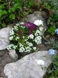 rośliny jednoroczne smagliczka nadmorska
