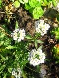 Ogrodnik-amator, opis rośliny, Smagliczka nadmorska, Lobularia maritima, Sweet Alyssum, Sweet Alison, uprawa smagliczki nadmorskiej, opis rośliny, roślina jednoroczna, niska roślinka, roślina na obwódki, letnia roślina wysiewana do gruntu, rośliny obficie kwitnące, białe kwiaty, różowe kwiaty, fioletowe kwiaty, kwiaty jednoroczne, kwiaty ogrodowe, kwiaty letnie