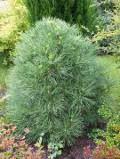 Ogrodnik-amator, opis rośliny, Sosna czarna, Pinus nigra, European Black Pine, uprawa sosny czarnej, opis rośliny, drzewa dość łatwe w uprawie, drzewa iglaste