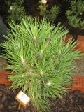 drzewa ogrodowe iglaki, świerk srebrny, swierk kłujący