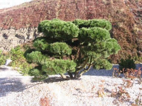 kosodrzewina, aranacje z sosną górską, krzew kosodrzewina, galeria ogrodowa