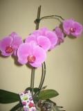 storczyk falenopsis, Phalaenopsis Orchids,  rośliny pokojowe, rośliny doniczkowe, orchidea