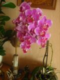 ro�liny pokojowe , storczyki, falenopsis, �m�wka mi�a, ro�liny kwitn�ce