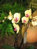 rośliny pokojowe, rosliny doniczkowe, falenopsis, ćmówka miła