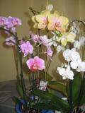 Ogrodnik-amator, opis rośliny, Falenopsis, Ćmówka miła, Phalaenopsis Orchids, Phalaenopsis Orchids or the Moth Orchid, uprawa falenopsisa, ćmówki, storczyki, rośliny do domu, rośliny doniczkowe, rośliny pokojowe, rośliny długo kwitnące, rośliny o efektownych kwiatach, orchidea, storczyk, epifit, rośliny na parapet, rośliny kwitnące zimą