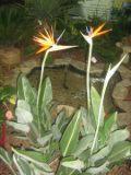 strelicja królewska, rośliny pokojowe