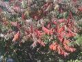 Ogrody, zdjęcia sumak octowiec, jesień  w ogrodzie, uprawa sumaków