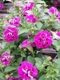 Ogrodnik-amator, opis rośliny, Surfinia, Petunia surfinia, Surfinia petunia, uprawa surfinii, pielęgnacja surfinii, opis rośliny, surfinia kwiat, surfinie