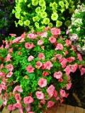 kwiaty balkonowe, surfinia, surfinie, balkony i tarasy