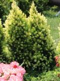 drzewa ogrodowe iglaki, świerk biały conica, małe iglaki