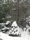 Ogrodnik-amator, opis rośliny, Świerk biały Conica, Picea glauca Conica, White spruce, uprawa świarka białego Conica, opis rośliny, Krzewy trudniejsze w uprawie, krzewy iglaste, iglaki