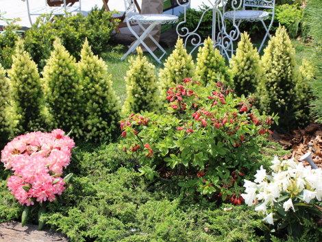 żywoplot, scwierki conica, gród, urządzanie ogrodu
